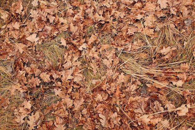 Der herbsthintergrund mit trockenen gefallenen blättern des eichen späten herbstes