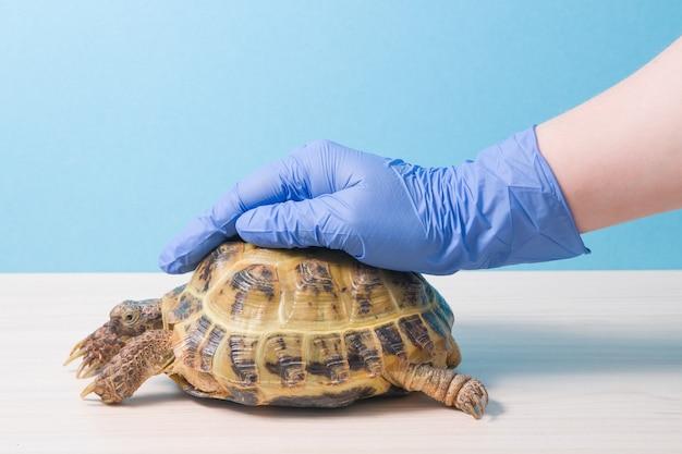 Der herpetologe-tierarzt legte eine behandschuhte hand auf die schale einer landschildkröte, um sie zu beruhigen und zu behalten