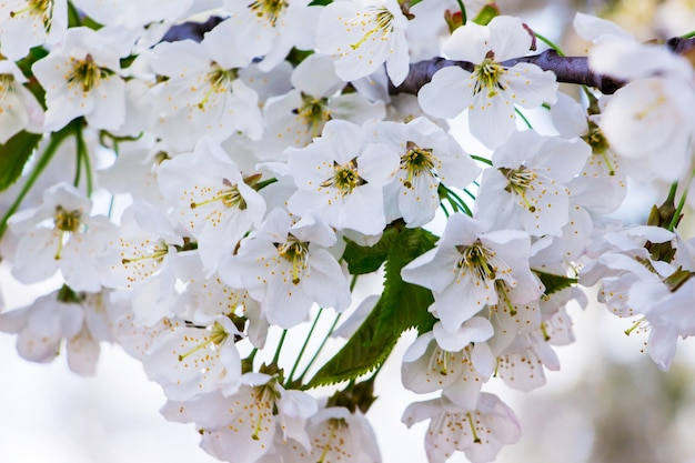 Der hintergrund der blumen ist kirsche. weiße kirschblüten blossom_