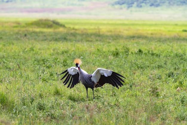 Der hochzeitstanz eines alten kranichs. weit geöffnete flügel der liebe. tansania, afrika