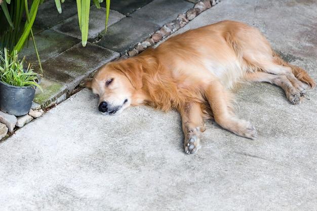 Der hund, der auf boden, brauner goldener retrieverhund sich entspannt