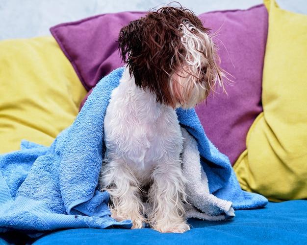 Der hund des yorkshire terriers beaver ist in ein handtuch gewickelt.