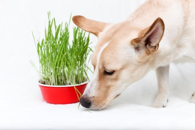 Der hund frisst frisches gras. pflanzengras für die tiere. pflege und wartung von haustieren.