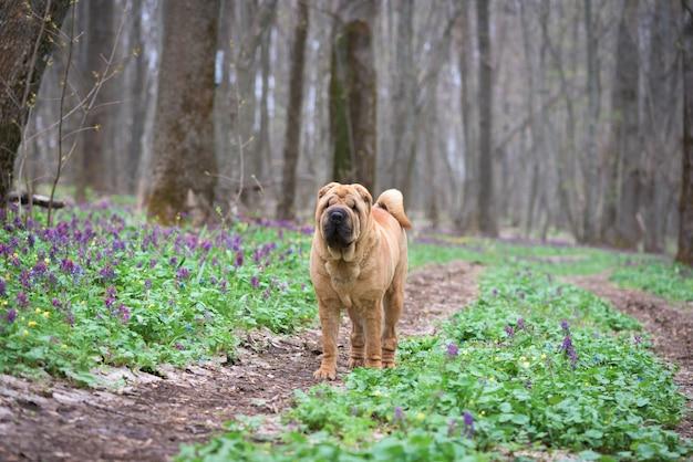 Der hund ist ein reinrassiger shar-pei im wald. roter fröhlicher hund, frühlingswald mit blumen