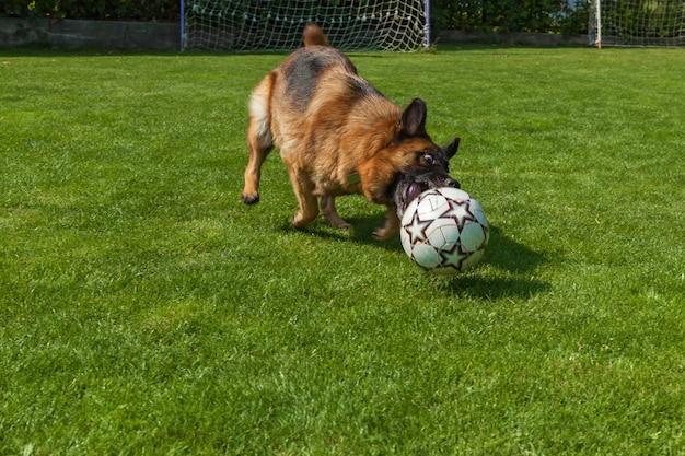 Der hund läuft dem ball nach, deutscher schäferhund spielt mit einem ball