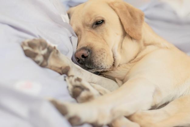 Der hund schläft süß im bett. weicher fokus