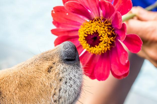 Der hund schnüffelt an der roten blume von zinnie. nahansicht