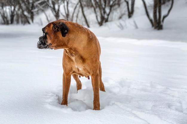 Der hund spielt im winterpark. mit einem handschuh in den zähnen.