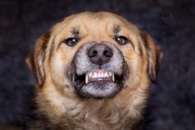 Der hund zeigt zähne. wütender hund ist bereit zu beißen. vorsicht ist ein böser hund