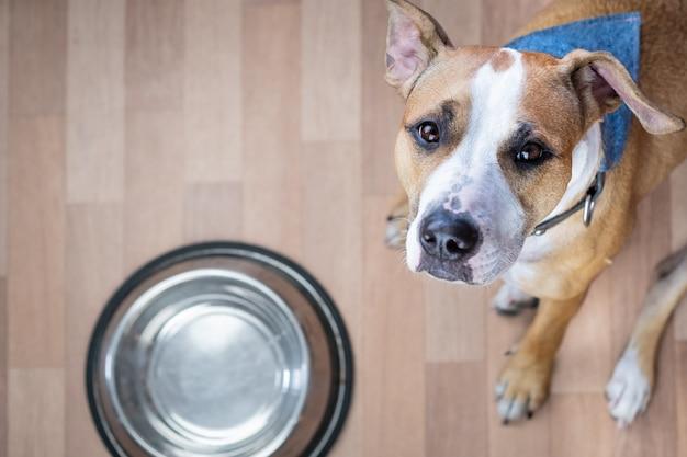 Der hungrige hund sitzt auf dem boden in der nähe der futternapf und bittet um futter. netter staffordshire terrier hund, der aufschaut und um leckereien bettelt