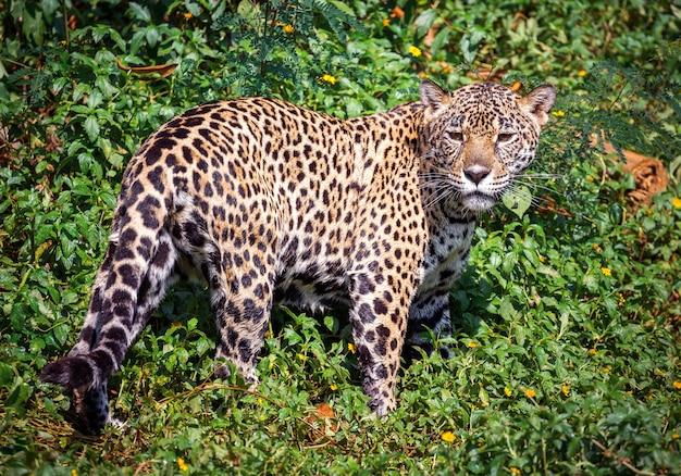 Der jaguar in der wilden atmosphäre.