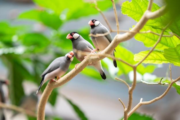 Der java-spatz, lonchura oryzivora, auch bekannt als java-fink, java-reissperling oder java-reisvogel.