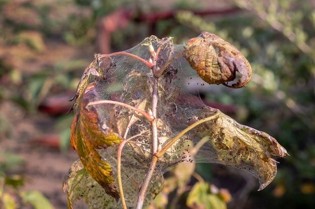 Der johannisbeerstrauch ist mit spinnweben und raupen bedeckt. krankheiten von gartenpflanzen