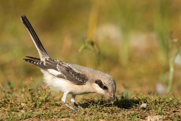 Der junge graue esser-würger (lanius minor) steht mit erhobenem schwanz auf dem boden und sucht im gras nach nahrung.