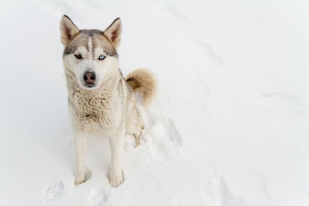 Der junge siberian husky hund läuft und hat spaß im tiefschnee