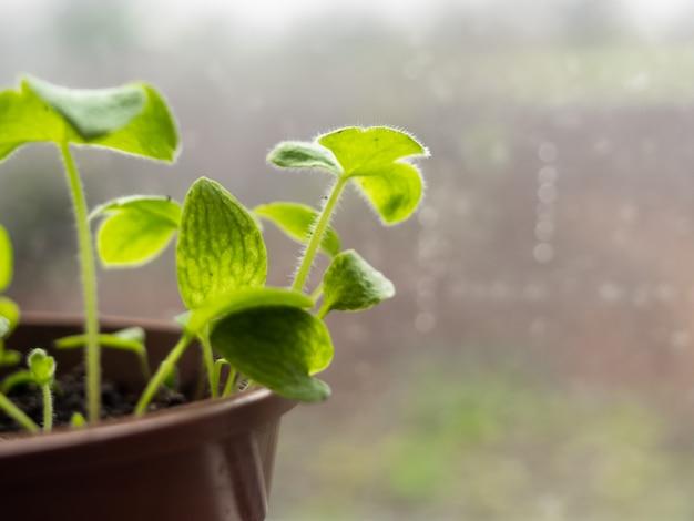 Der junge spross wächst in einem topf, nahaufnahme.