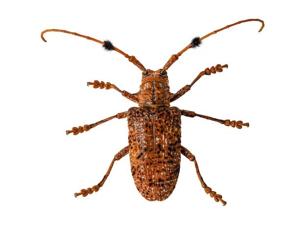 Der käfer mit dem wissenschaftlichen namen aristobia horridula.