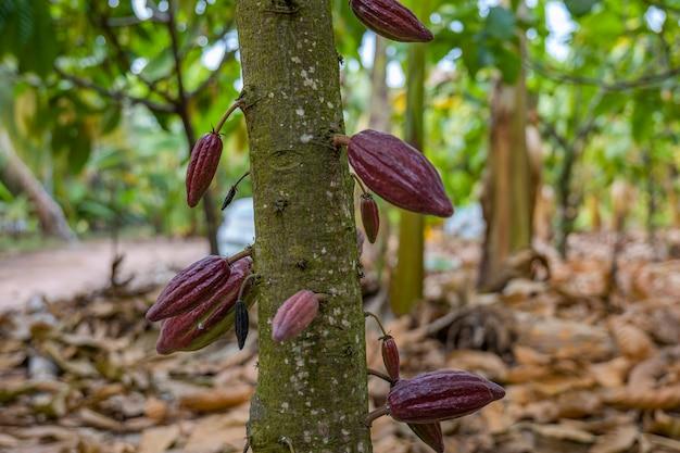 Der kakaobaum mit früchten. am baum wachsen gelbe und grüne kakaoschoten