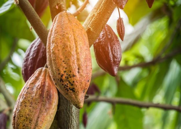 Der kakaobaum mit früchten. auf dem baum wachsen gelbe und grüne kakaohülsen