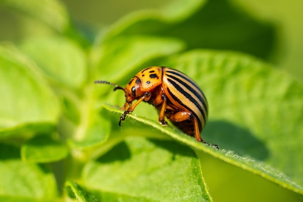 Der kartoffelkäfer (leptinotarsa decemlineata) ist ein ernstzunehmender schädling von kartoffeln, tomaten und auberginen. insektizide sind derzeit die wichtigste methode der käferbekämpfung. schließen sie mit flachem dof.