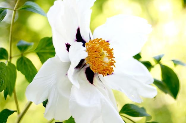 Der kern einer offenen baumartigen pfingstrose. frühlingsfrische, duftende blume. zarte blüte der schönen hochzeitsblume.