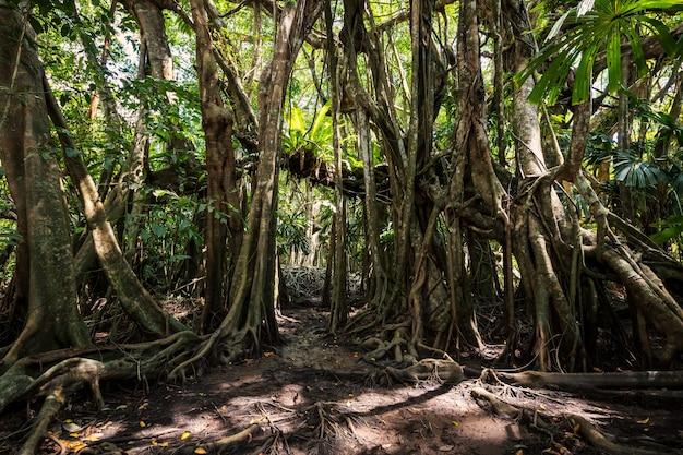 Der kleine amazonas am sang nae kanal, phang nga, thailand. eingang des mehr als 100 jahre alten banyanbaumwaldes im frühjahr. berühmtes reiseziel.