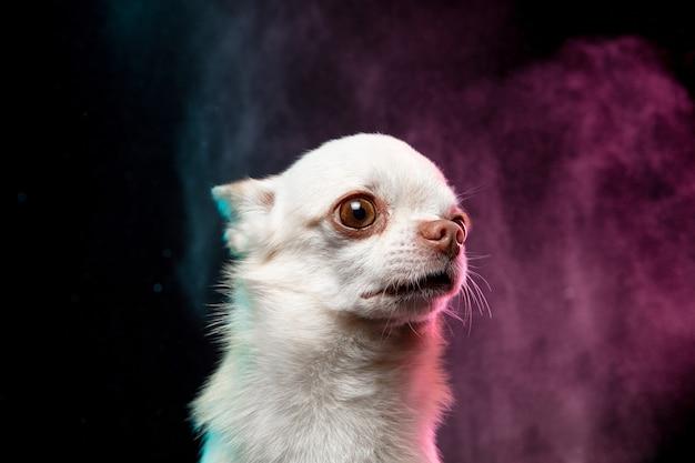 Der kleine chihuahua-hund posiert. nettes verspieltes weißes cremefarbenes hündchen oder haustier einzeln auf neonfarbenem hintergrund in rauchwolke. konzept der bewegung, bewegung, haustiere lieben. sieht glücklich, erfreut, lustig aus.