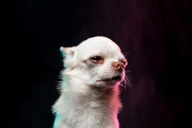 Der kleine chihuahua-hund posiert. nettes verspieltes weißes cremefarbenes hündchen oder haustier einzeln auf neonfarbenem hintergrund. konzept der bewegung, bewegung, haustiere lieben. sieht glücklich, erfreut, lustig aus. copyspace für design