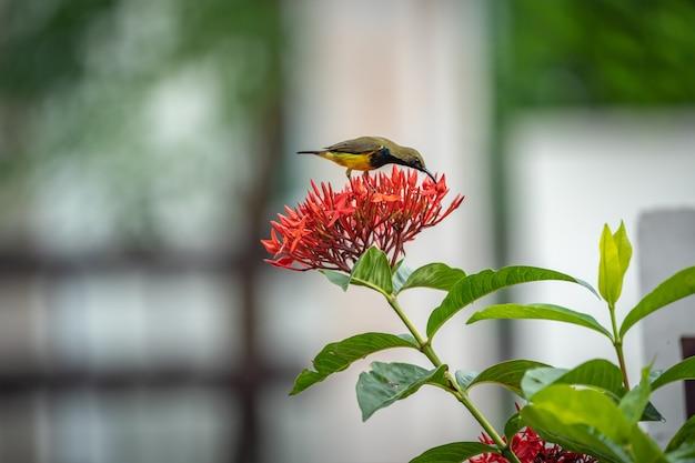 Der kleine kleine vogel steht und isst karpell der roten spitzenblume.
