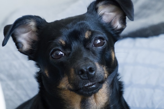Der kleine schwarze hund, schnauze nahaufnahme