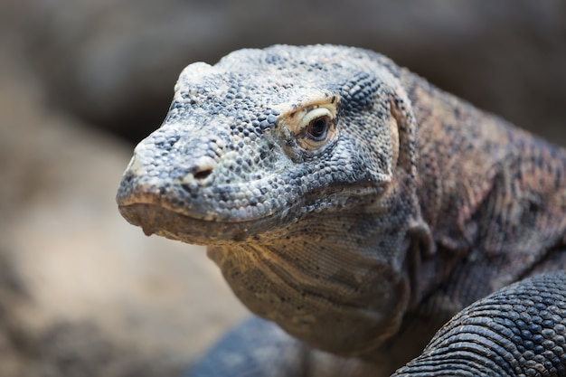 Der komodo-drache varanus komodoensis abschluss herauf porträt