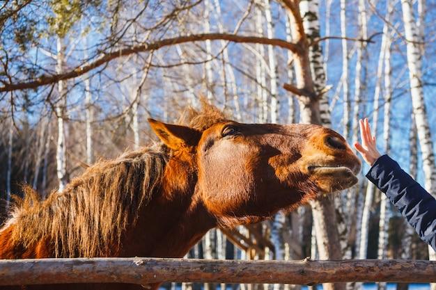 Der kopf eines roten pferdes reicht bis zur handfläche