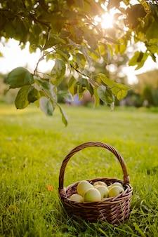 Der korb mit äpfeln unter dem apfelbaum