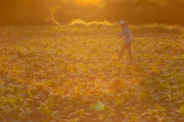 Der kubanische tabaklandwirt, der den boden auf einem feld bearbeitet, das durch grünen tabak umgeben wird, verlässt.