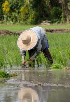 Der landwirt, der auf dem ungeschälten reis auf dem gebiet pflanzt