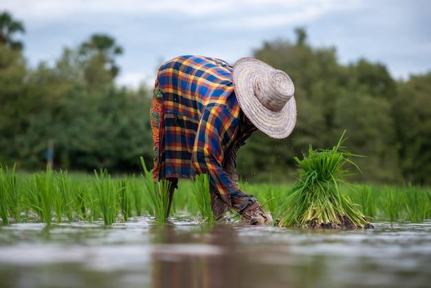 Der landwirt pflanzt reis auf einem reisfeld in thailand