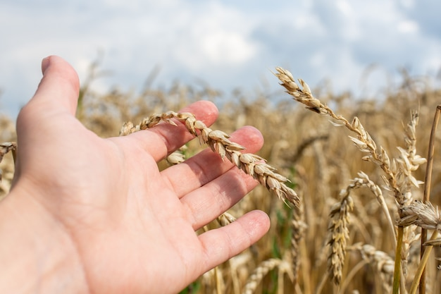 Der landwirt prüft die qualität der weizenähren, des feldes mit jungen weizenähren aus der nähe an einem regnerischen tag, des getreides und der landwirtschaft