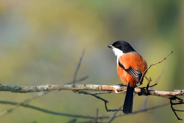 Der langschwanzwürger oder rüschenrückenwürger gehört zur vogelfamilie laniidae, den würger. sie sind in ganz asien weit verbreitet und es gibt unterschiede im gefieder im gesamten sortiment.