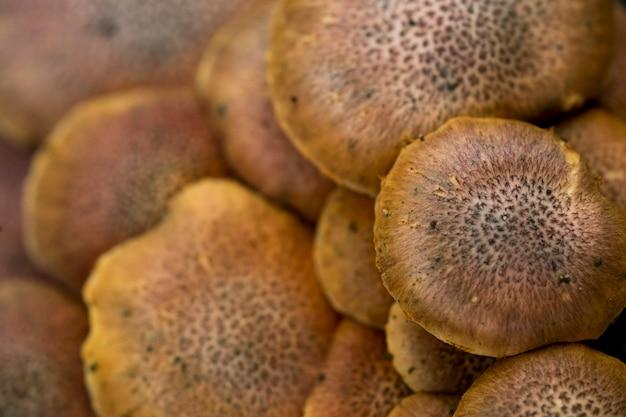 Der lentinus squarrosulas mont oder mushroom wächst natürlich in heißem und feuchtem wetter Premium Fotos