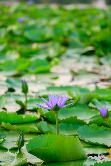 Der lila lotuspool befindet sich im pool im garten.
