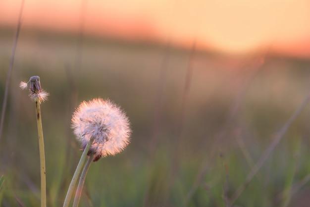 Der löwenzahn bei sonnenuntergang wird von der sonne beleuchtet