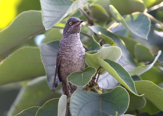Der männliche trällerer (sylvia nisoria)