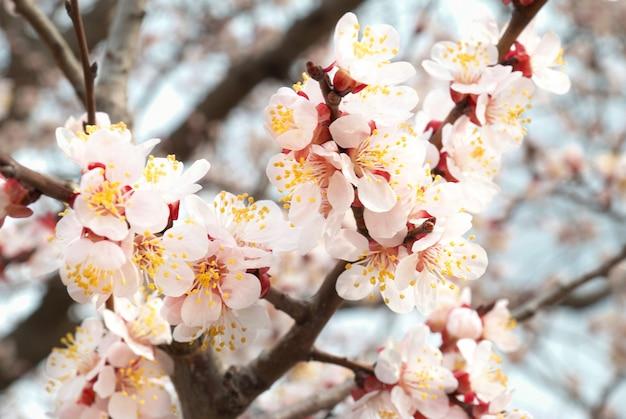 Der mandelbaum rosa blüten mit zweigen