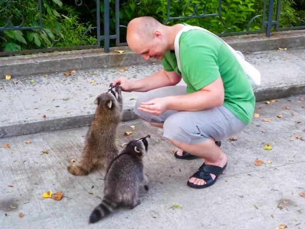 Der mann füttert waschbären. domestizierung von wildtieren. gezähmte wilde tiere.