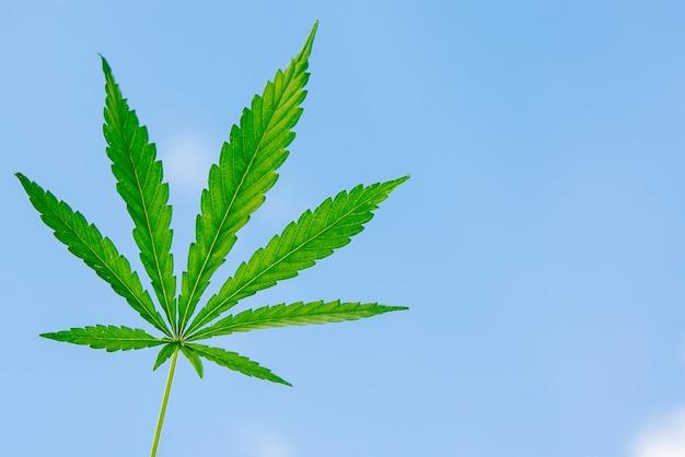 Der mann hält ein cannabisblatt in der hand
