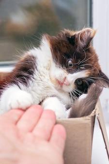 Der mann reicht dem kätzchen in einer kiste die hand. ein kleines süßes flauschiges kätzchen spielt mit der hand eines mannes