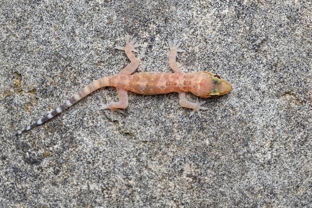 Der mediterrane hausgecko (hemidactylus turcicus)