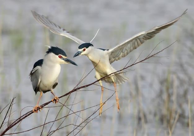 Der nachtreiher sitzt auf einem dünnen ast und dahinter fliegt ein weiterer vogel auf. lustige handlung des lebens der vögel
