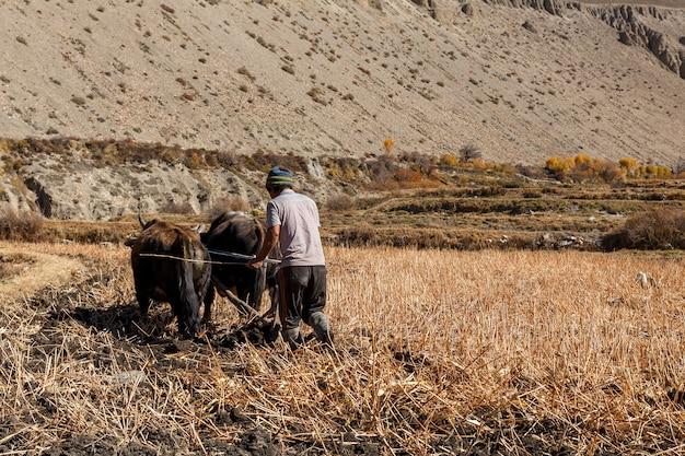 Der nepalesische mann pflügt sein feld mit stieren