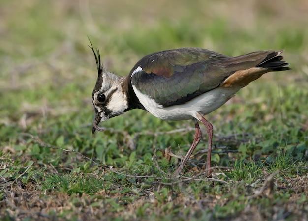 Der nördliche kiebitz (vanellus vanellus) steht mit einem langen wurm im schnabel auf verschwommenem grün auf dem boden. nahaufnahme und buntes foto